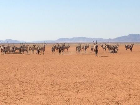Oryx-Herden am Wegesrand