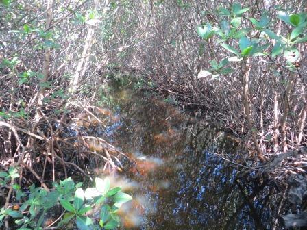 Mangroven im JN Darling National Wildlife Refuge