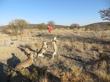 Fütterung der wilden Geparden