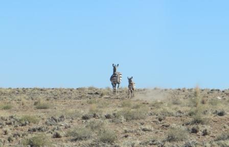 Zebras auf der Flucht :)