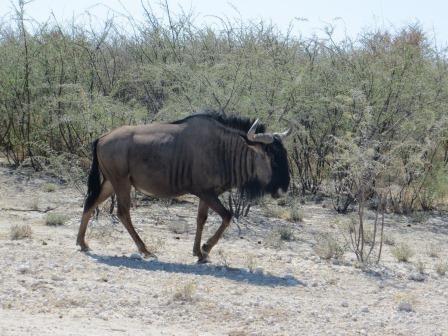 Etosha Nationalpark - Gnu
