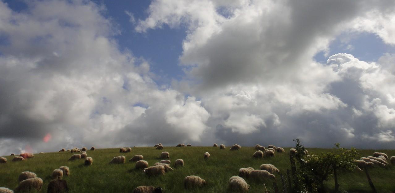 Les moutons du voisin sur la colline