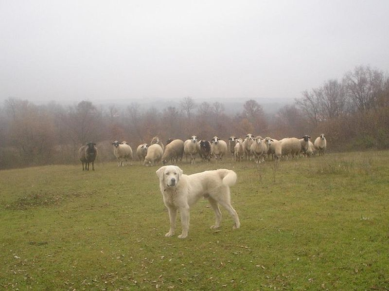 Sarplanina mit Herde (Wikipedia)