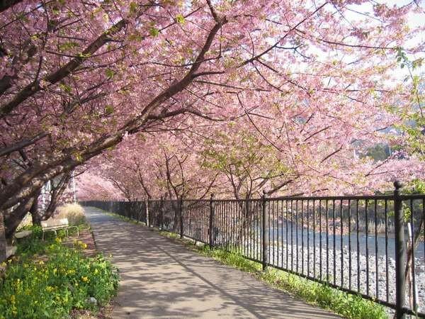 桜の季節、徒歩5分で「河津桜」を観に行くことができます
