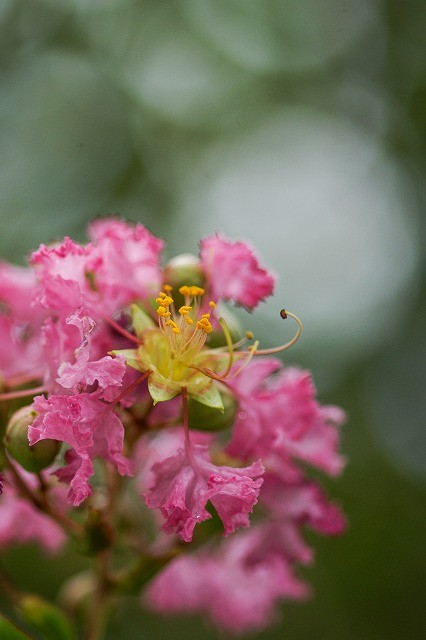 Lagerstroemia indica name of the plant koloa jodo mission please look at the yellow part of the flower pistils of the flower are just like crape which means curling mightylinksfo
