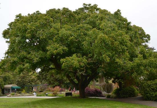 ウォールナットの木(写真は引用させていただきました)