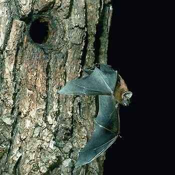 Abflug zur abendlichen Jagd (Foto: E. Menz)