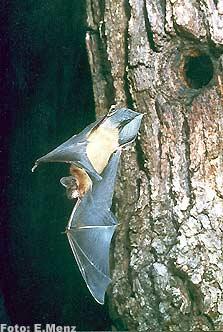 Großer Abendsegler - ein typischer Baumhöhlenbewohner (Foto: E. Menz)