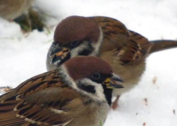 Feldsperlinge im Schnee (Foto: Hans Fingerhut)