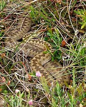 Kreuzotter im Loyermoor - unverkennbares Rückenmuster