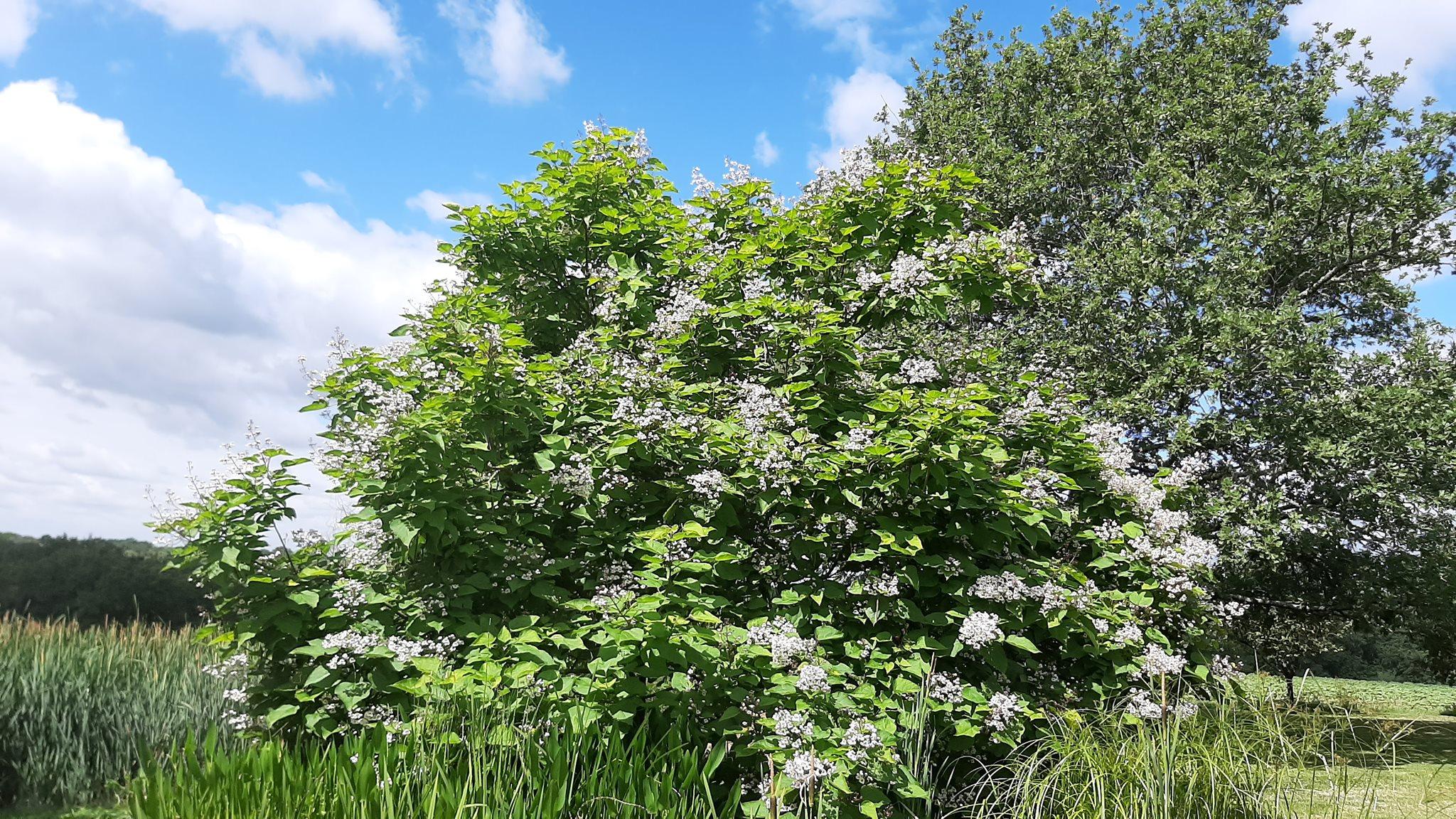 L'arbre aux haricots en pleine floraison