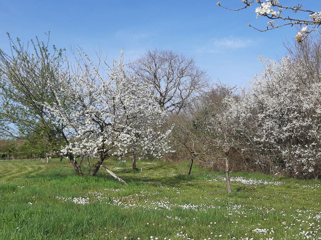 Notre verger en pleine floraison