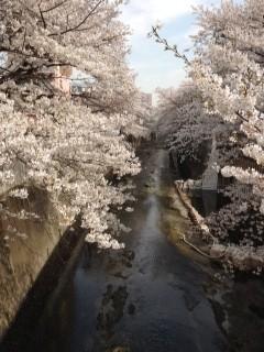 カフェ前の桜並木