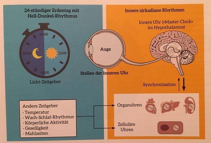 """Bildquelle: Better Body Better Brain, Anja Leitz 2016 Jede Zelle hat eine eigene Uhr, die sich mit allen anderen abstimmt. Alle werden durch die """"Masterclock"""" im Gehirn gesteuert. Diese Uhren steuern die inneren Rhythmen und bestimmen, wann was geschieht"""