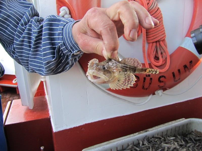 Dieser Fisch ist ein Seeskorpion