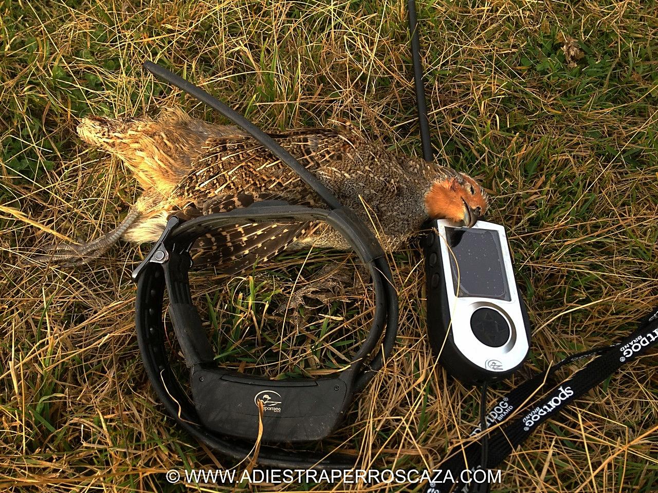 Utilizamos este collar localizador/GPS de Spordog distribuido por Ibañez/sección caza