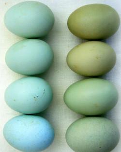 Imagen obtenida de la web, que diferencia huevos Azules de Verdes.