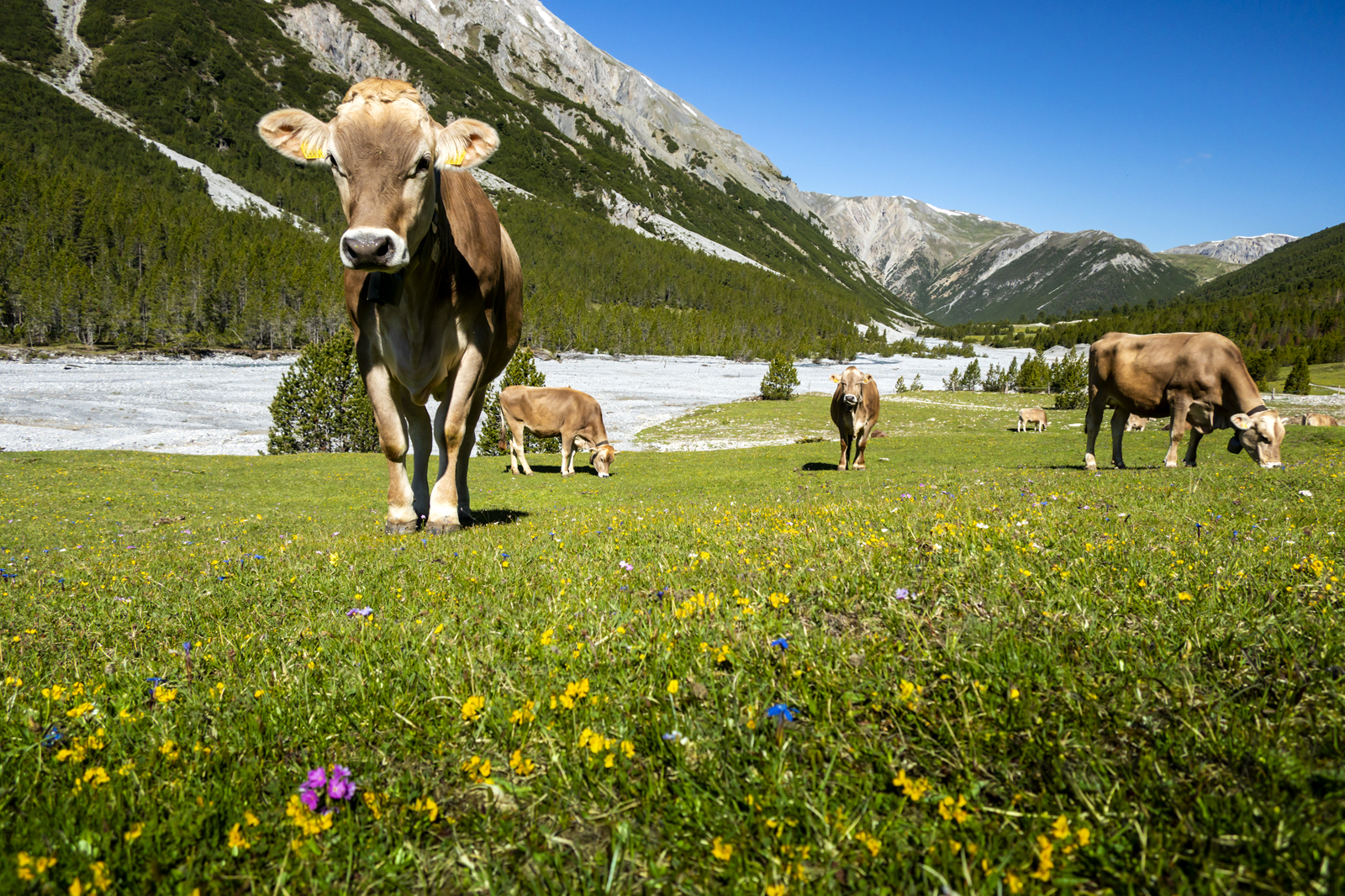 Cows in Val Müstair, Switzerland (A51)