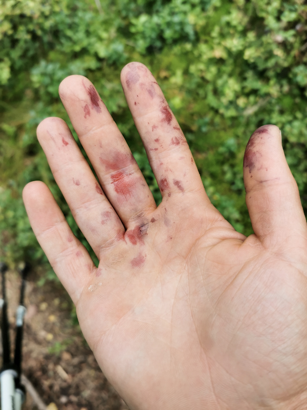 Blueberry-picking-hand