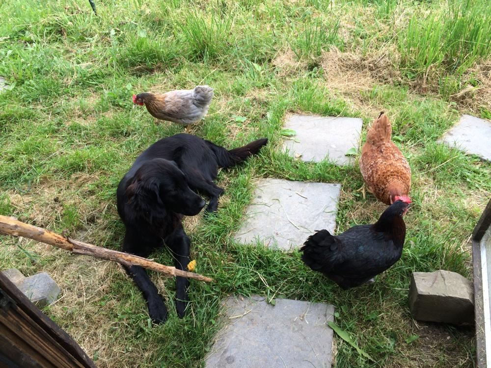 Queen und unsere neuen Hühner 🐓🐓🐓