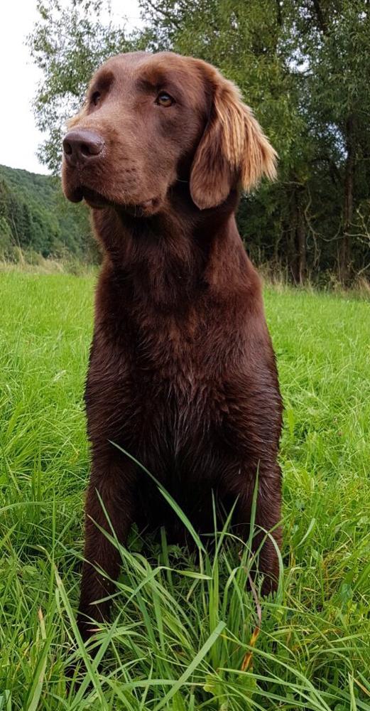Flat Coated Retriever Deckrüde Deckruede braun Muffin Pudel Hund decken Rüde Ruede Zucht