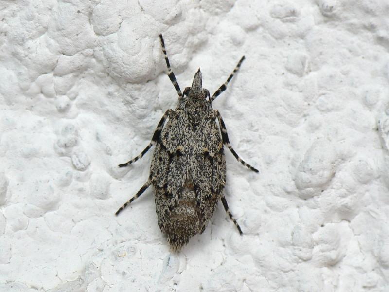 Diurnea fagella Weibchen wartet auf ein Männchen