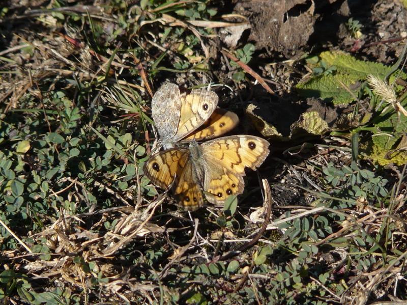 Lasiommata megera (Balz) / CH VS Salgesch obere Biss, 26. 10. 2015