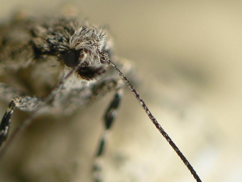 Diurnea fagella Weibchen Fühlerdetail