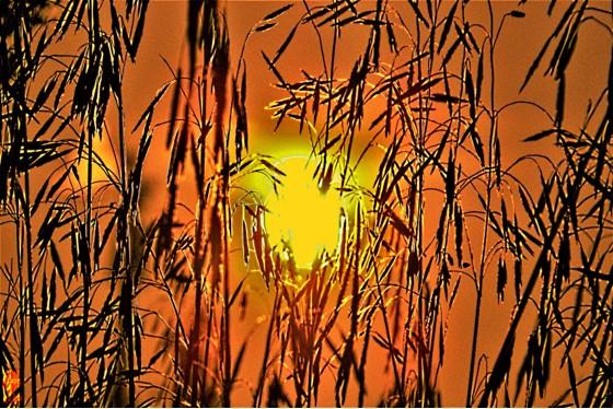 Ährengold | Digital-Fotografie überarbeitet auf Leinwand | 80x120cm