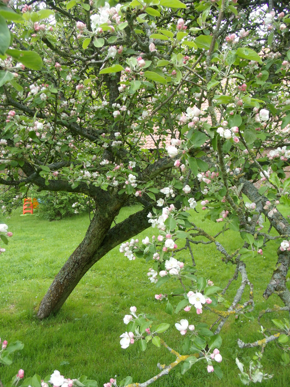 Frühlingsblüte der Apfelbäume