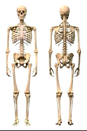 Ostéopathie et squelette recto verso