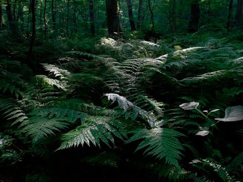 リョウメンシダの森