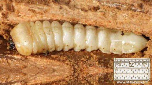 larve et vers malle vuitton goyard bois