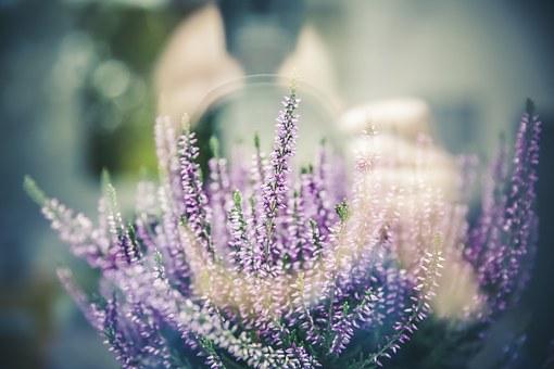 Lavendel können Sie schon im März in den Topf setzen.