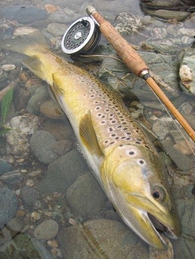 New Zealand Mataura RiverBrown Trout Schott Bamboo Rod Hardy Sunbeam