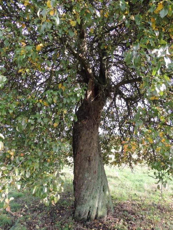 Der Baum ist bestimmt schon über 100 Jahre alt