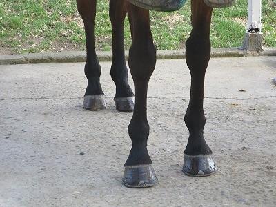 美しい馬の肢