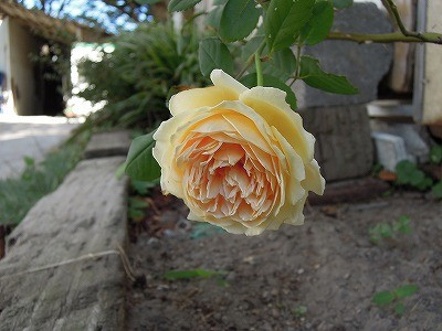 乗馬クラブのバラが咲きました1