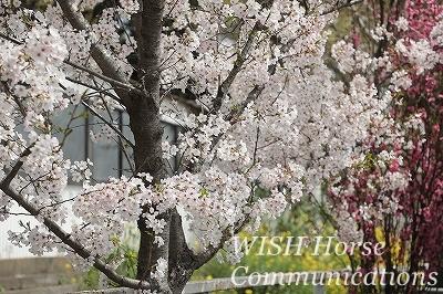 桜と菜の花と桃