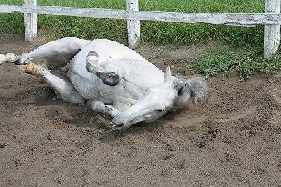 馬の大好きな砂浴び