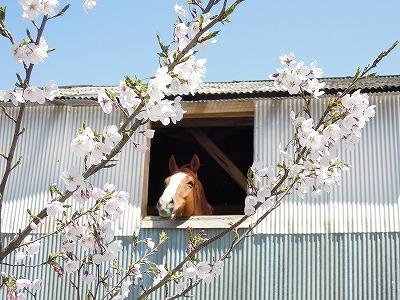 馬とサクラのいい風景