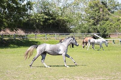 馬達の遊ぶ放牧風景