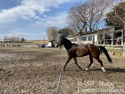馬の調馬索調教