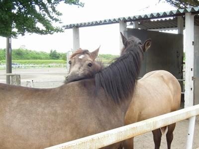 馬の相互グルーミング行動