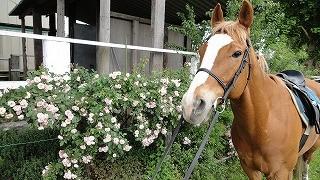 きれいに咲いたバラと馬2