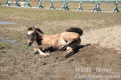 馬の砂浴び