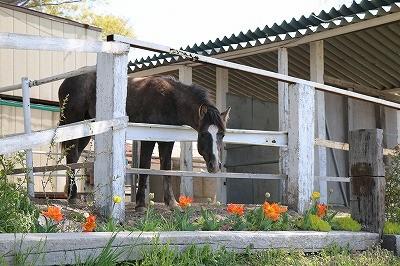 馬とチューリップ