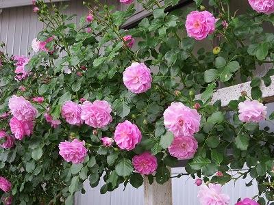 今年も咲いたよ!ホースクラブのバラ