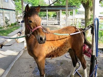 新馬調教 お尻に抵抗を見せる馬