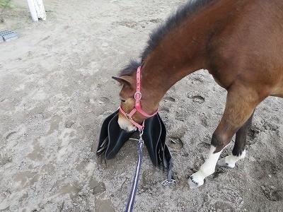 新馬調教 鞍の学習
